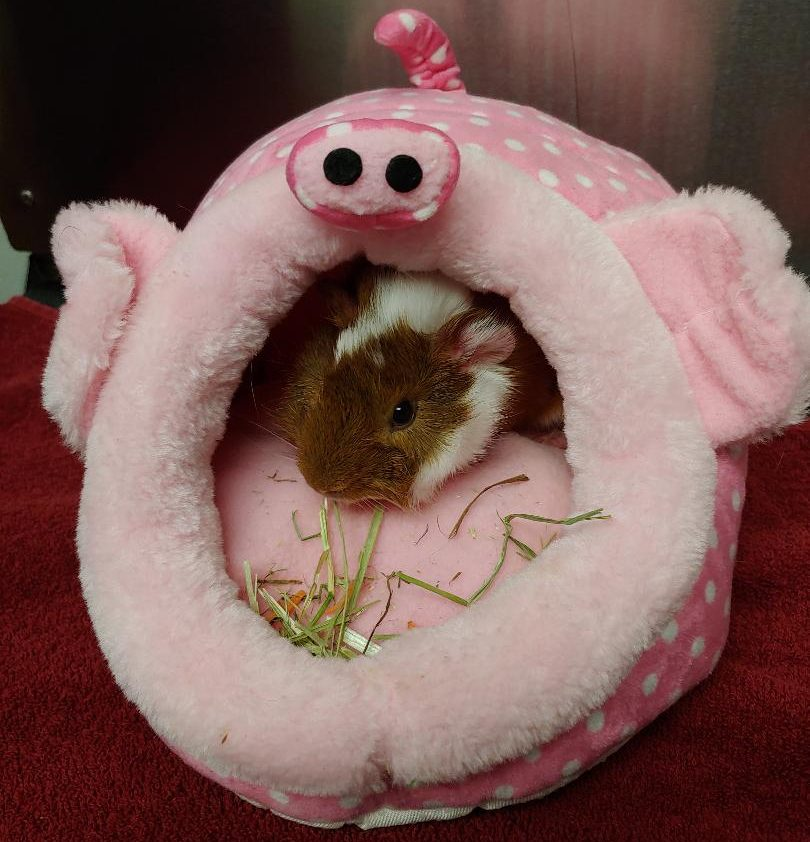 Guinea pig in pig bed